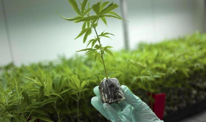 La cannabis terapeutica in Italia continua a non bastare: il governo regala altri soldi alle multinazionali straniere