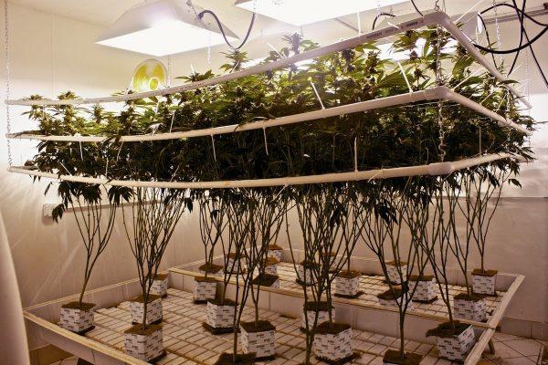 Come fare coltivazione idroponica di cannabis marijuana