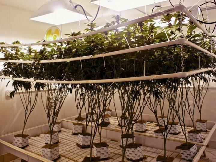[GUIDA] Come fare la coltivazione idroponica di Cannabis
