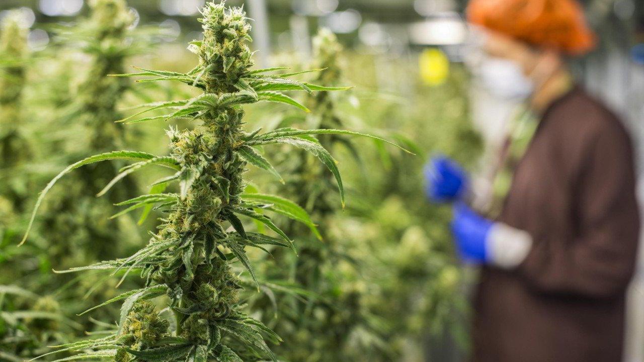 Legge italiana sulla cannabis light marijuana legale