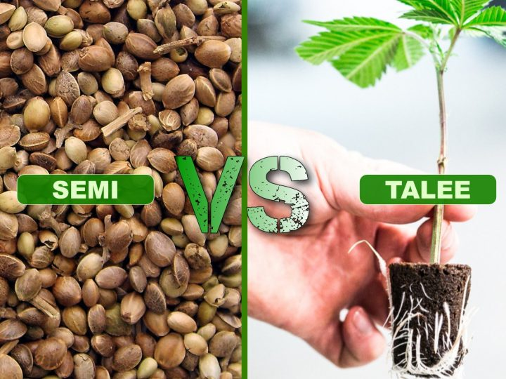 Differenze dei cloni di cannabis rispetto ai semi