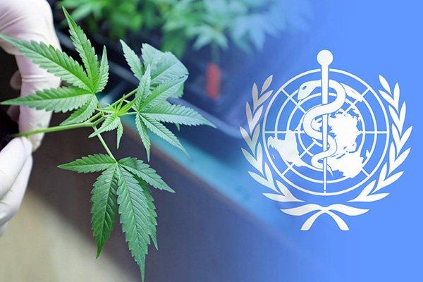 """Onu: """"Via la cannabis dalla lista delle sostanze dannose"""". Cosa significa?"""