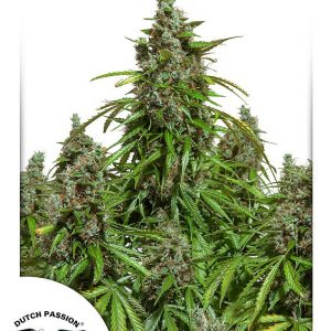 Auto Mazar Dutch Passion 013 - Semi CBD Seeds