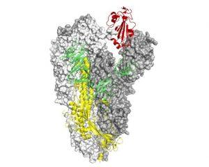 Proteina Spike di SARS-CoV-2