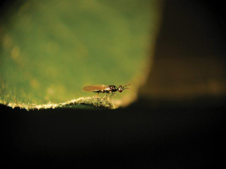 [GUIDA] Difesa dai parassiti della cannabis light – Mosche ed altri insetti alati