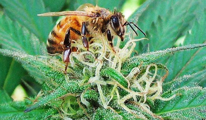 Lo strano caso delle api che amano il kief